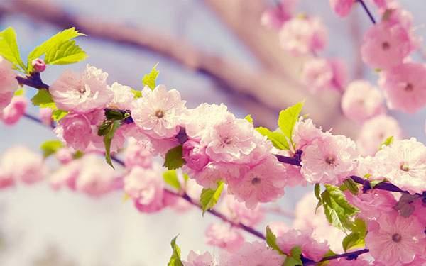 ピンクの桜とグリーンの若葉のコントラストが綺麗な写真壁紙画像