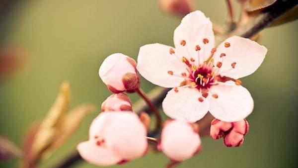 桜の花の正面からアップで撮影した綺麗な写真壁紙画像