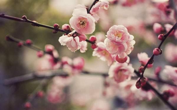 丸いシルエットの可愛い桜の花を撮影した写真壁紙画像