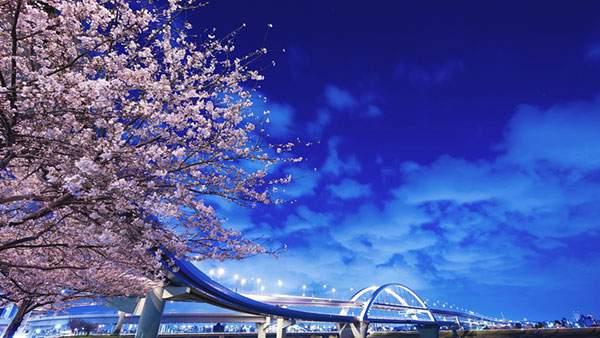 大きな橋と夜桜を撮影した美しい写真壁紙画像