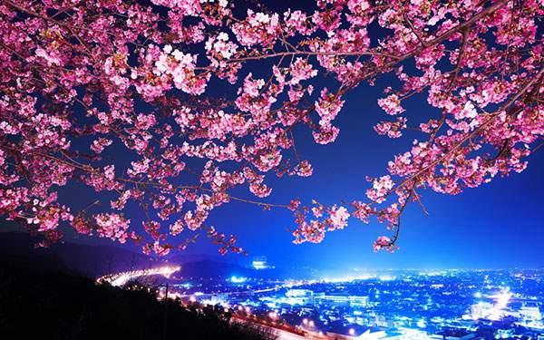 鮮やかなピンクの桜越しに夜景を撮影した美しい写真壁紙画像