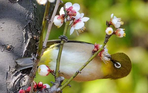 桜の花をついばむ鶯を撮影した可愛い写真壁紙画像