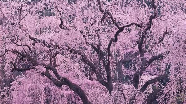 視界いっぱいのしだれ桜を撮影した綺麗な写真壁紙画像