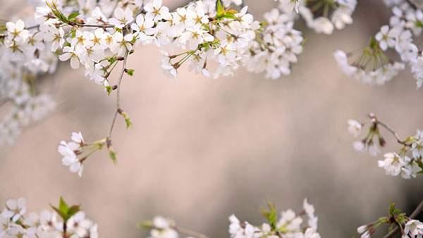 桜の花のフレームの綺麗な写真壁紙画像