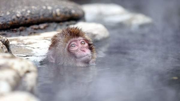 温泉に首まで使ってこっちを見つめる小猿の可愛い写真壁紙画像