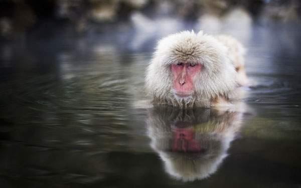 温泉に使ったサルと綺麗に写りこんだ水面を撮影した写真壁紙画像