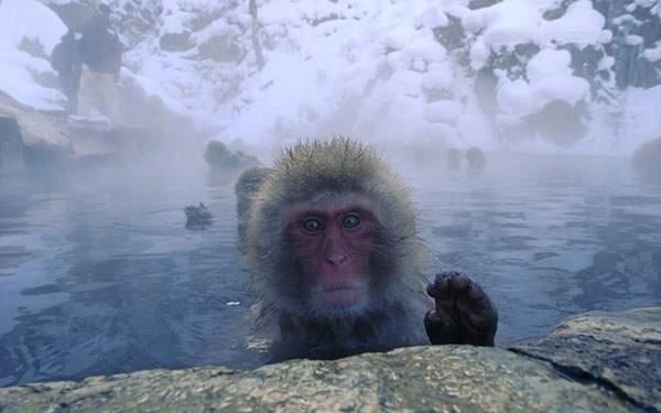温泉に入りながらカメラ目線でキョトンとした表情の猿の写真壁紙画像