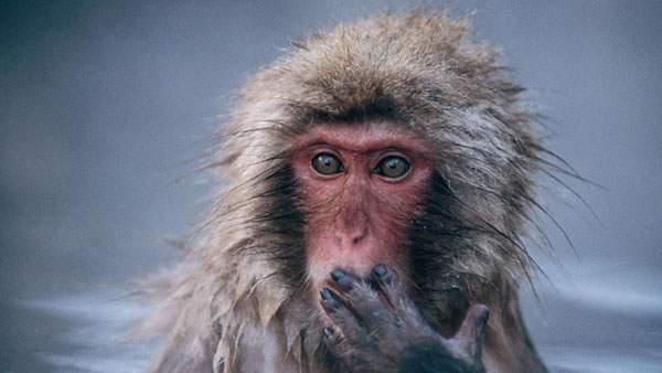 口に手を当てて可愛い表情をした温泉猿の写真壁紙画像