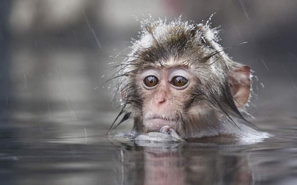 雪の中で温泉に入る小猿をアップで撮影した可愛い写真壁紙画像