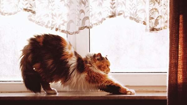 窓際で伸びをするフサフサの猫の可愛い写真壁紙画像