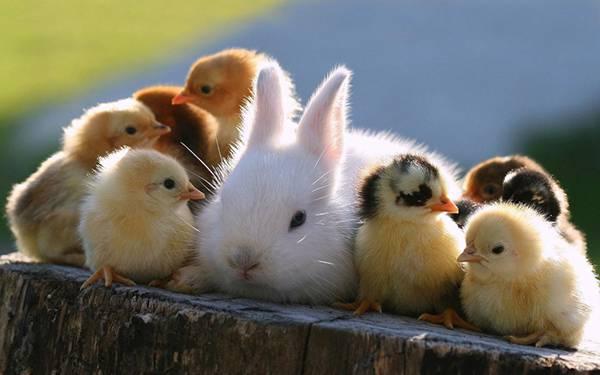 たくさんのヒヨコ達に囲まれた白ウサギを撮影した可愛い写真壁紙画像