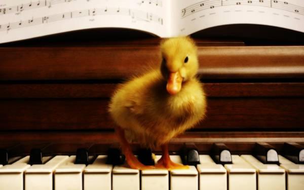 ピアノの鍵盤の上のヒヨコを撮影した可愛い写真壁紙画像