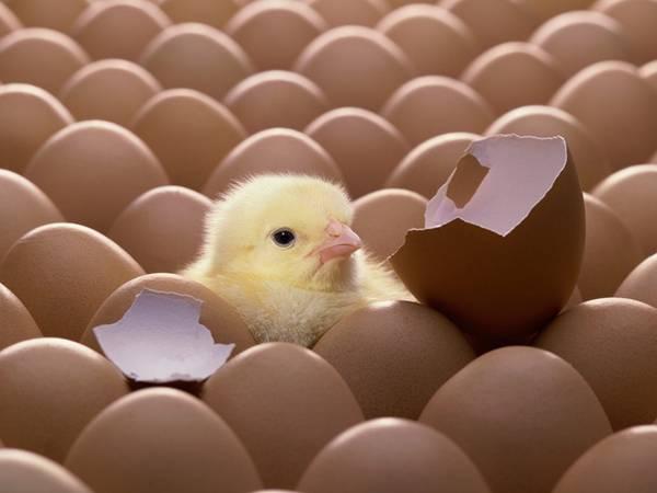 たくさんの卵の中のヒヨコを撮影した可愛い写真壁紙画像