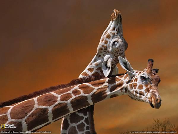 長い首を合わせる2匹のキリンを撮影した綺麗な写真壁紙画像