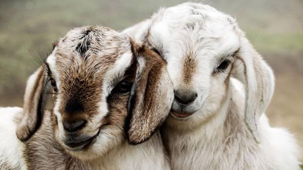 耳の垂れたヤギ