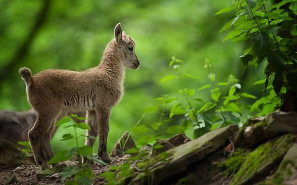 02.森の中の子山羊を撮影した綺麗な写真壁紙画像