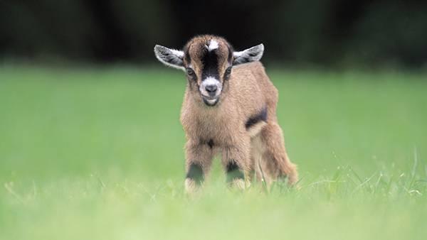 茶色い草原のヤギ