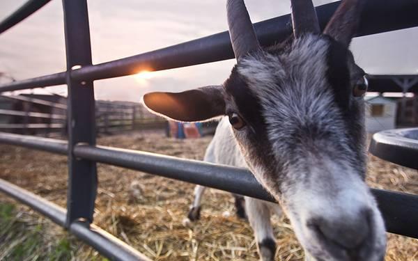 04.柵から顔を出すヤギを超アップで撮影した可愛い写真壁紙画像