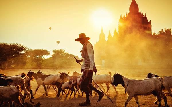 05.夕日の中のたくさんのヤギと山羊飼いを撮影した美しい写真壁紙画像
