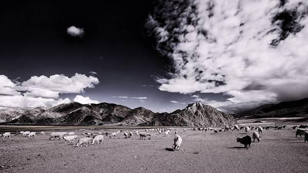 09.広大な土地で放し飼いにされているヤギたちを撮影したモノクロ写真壁紙画像