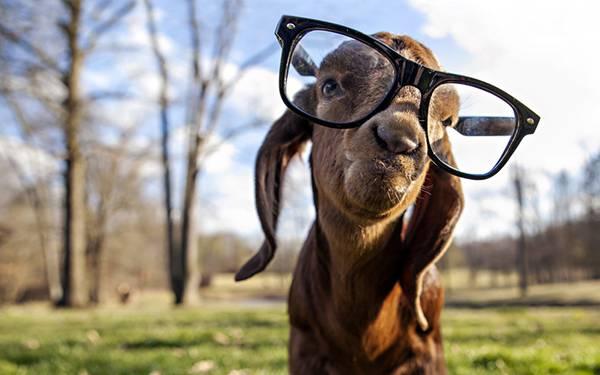 10.大きな黒縁メガネをかけたヤギの可愛い写真壁紙画像