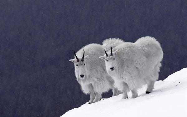 11.雪山の上のモフモフなヤギを撮影した可愛い写真壁紙画像