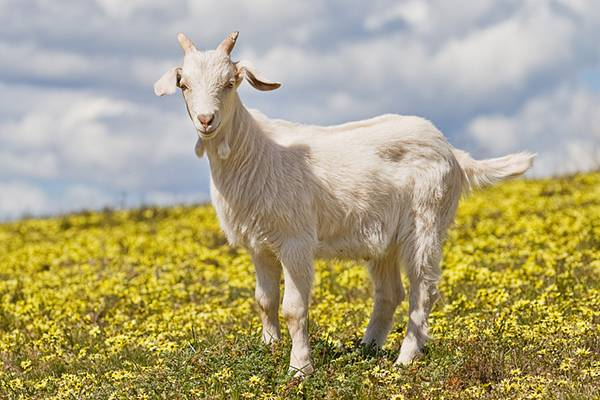 12.綺麗な黄色い花畑に佇んだ可愛いヤギの写真壁紙画像