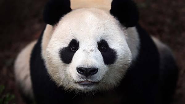 01.パンダの顔をアップで撮影した可愛い写真壁紙画像