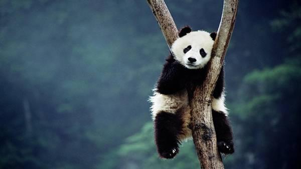 03.木の間にはさまって一休みするパンダの可愛い写真壁紙画像