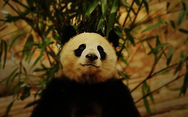 04.笹と凛々しい顔のパンダの可愛い写真壁紙画像