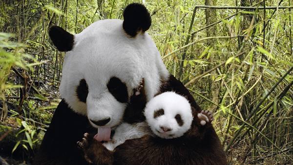 05.お母さんパンダと嬉しそうに手をあげる赤ちゃんパンダの可愛い写真壁紙画像