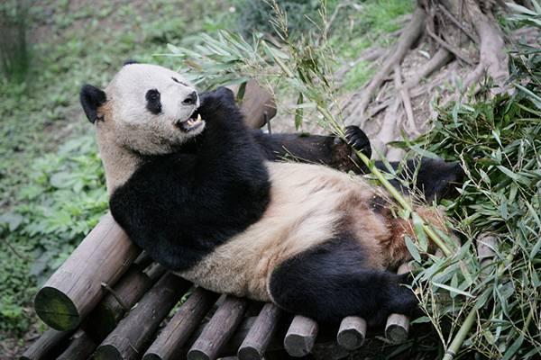 06.丸太の上に寝そべってまったりササを食べるパンダの可愛い写真壁紙画像