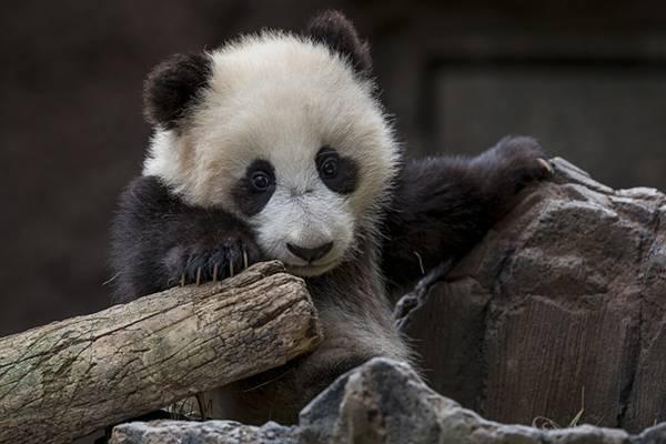 07.立派なつツメを持った赤ちゃんパンダの可愛い写真壁紙画像