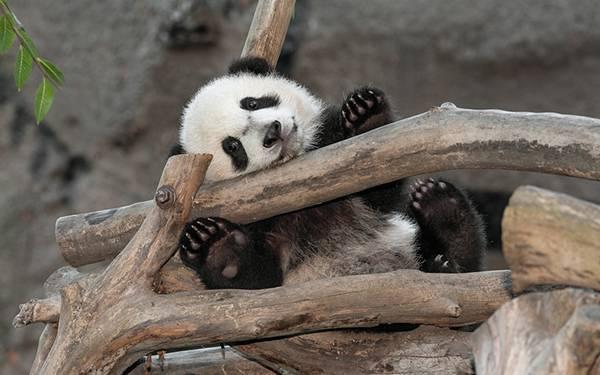 08.木の枝た楽しそうに遊ぶパンダの赤ちゃんの可愛い写真壁紙画像