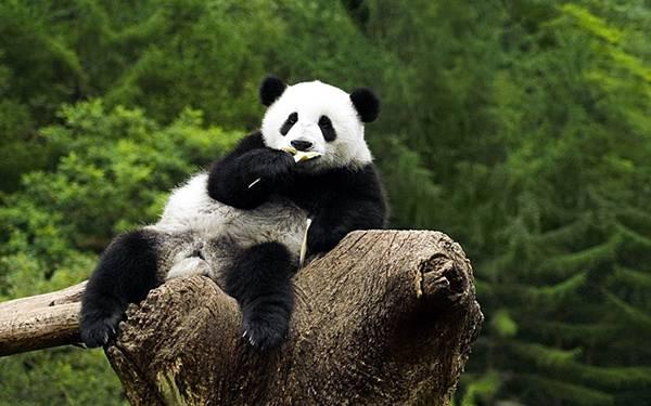 09.無防備なポーズで笹を食べるパンダを撮影した可愛い写真壁紙画像