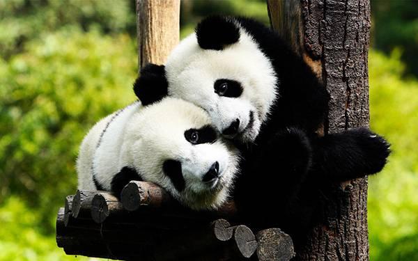 10.仲良しの2匹のパンダを撮影した綺麗な写真壁紙画像