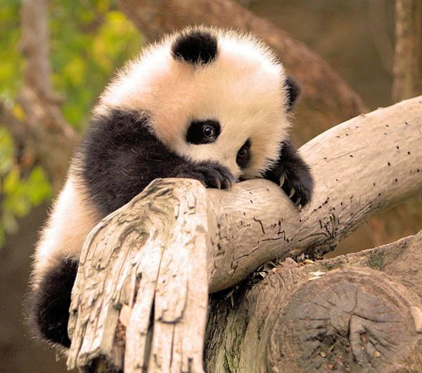 11.木の枝に上りながらこっちをチラっと見る赤ちゃんパンダ