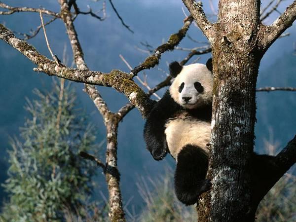 12.木の間で休憩しながら遠くを見つめるパンダの綺麗な写真壁紙画像