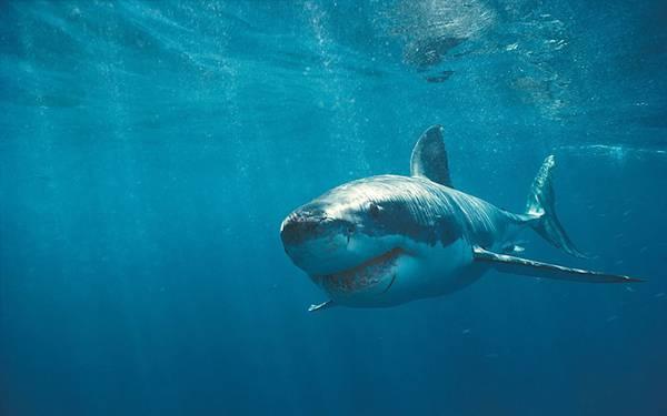 海を進む怖い顔をした鮫のかっこいい写真壁紙画像
