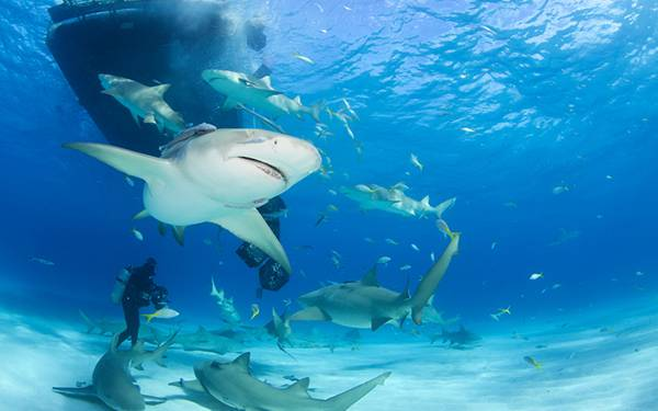 たくさんの鮫とダイバーの綺麗な写真壁紙画像