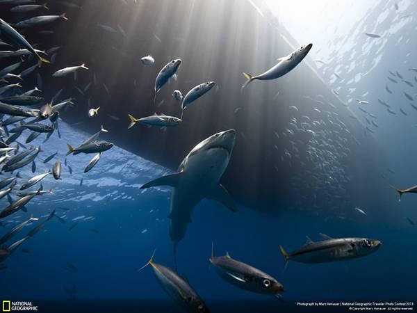 鮫と魚の大群を船底の下から撮影した綺麗な写真壁紙画像