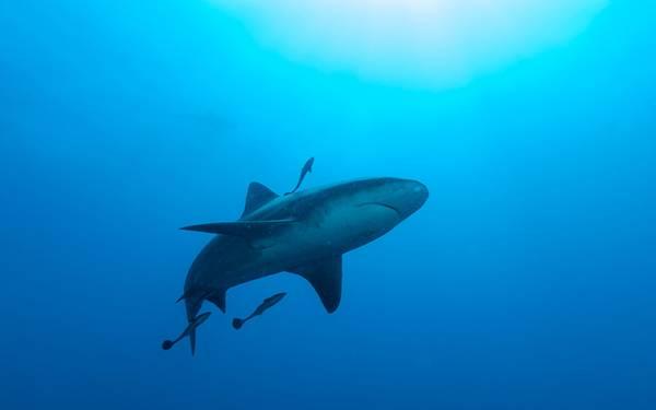 美しい青い海と鮫とコバンザメの綺麗な写真壁紙画像
