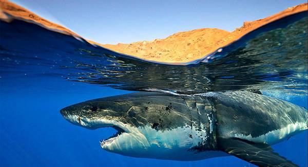 海面スレスレを泳ぐ鮫を撮影したかっこいい写真壁紙画像