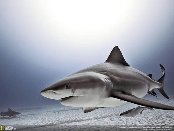 海底を泳ぐ鮫を撮影した綺麗な写真壁紙画像