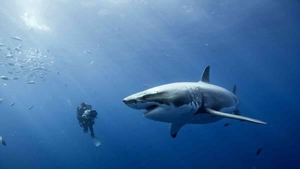 鮫を水中カメラで撮影しているダイバーの写真壁紙画像
