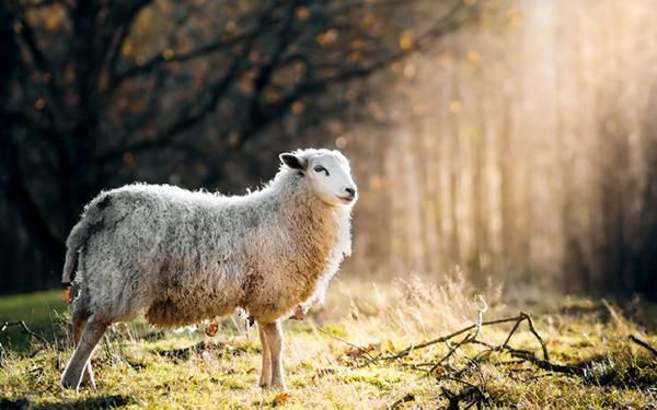 草原に立つ羊を逆光で撮影した綺麗な写真壁紙画像