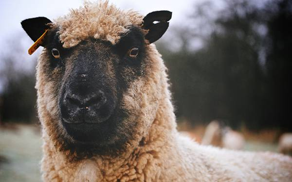 黒い顔の羊をアップで撮影した写真壁紙画像