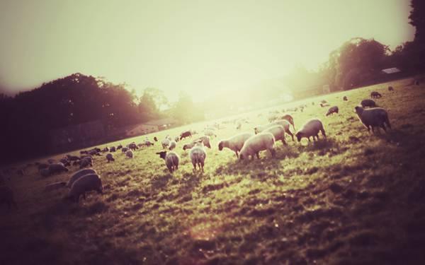 草を食べる羊たちを逆光で撮影したクールな写真壁紙画像