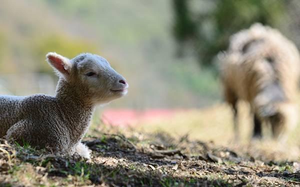 地面に座った羊を撮影した可愛い写真壁紙画像