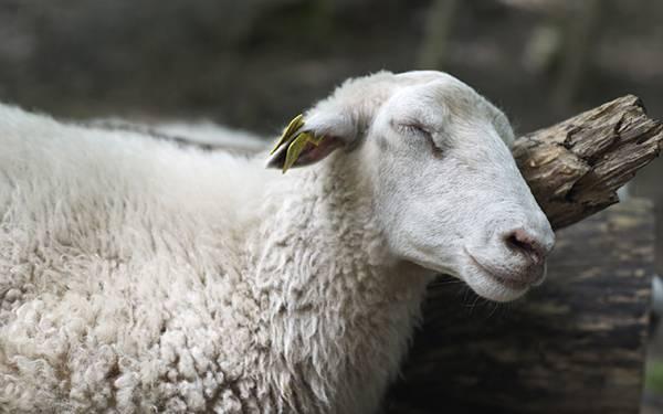 木に顔をこすりつけて気持ち良さそうな表情の羊を撮影した写真壁紙画像